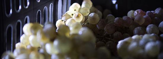 dettaglio uve vin santo