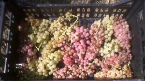 Le uve di Trebbiano appena raccolte per il nostro Vin Santo